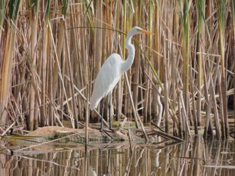 Great Egret Cootes Paradise